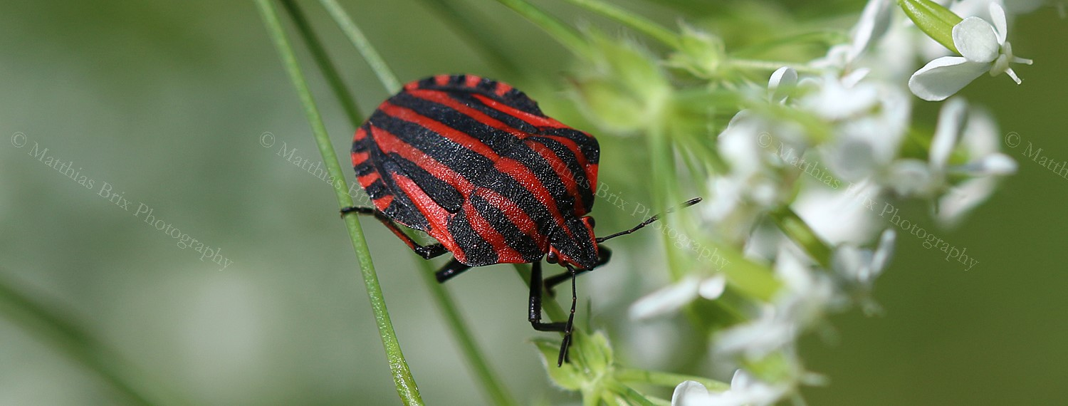 Streifenwanze - Striped Shield Bug - Graphosoma lineatum
